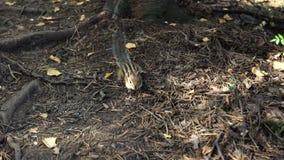 Streifenhörnchen, das durch das Holz auf der Suche nach Nahrung läuft Eichhörnchenfamilie stock footage