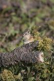 Streifenhörnchen, das eine Blume isst Lizenzfreie Stockfotografie