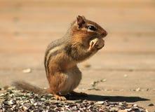 Streifenhörnchen, das eine Erdnuss isst Lizenzfreie Stockfotografie
