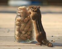 Streifenhörnchen, das eine Erdnuss isst Stockbild