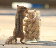 Streifenhörnchen, das eine Erdnuss isst Lizenzfreie Stockbilder