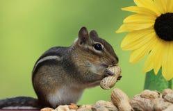 Streifenhörnchen, das eine Erdnuss nahe bei Sonnenblume isst Stockfotografie