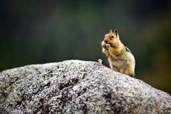 Streifenhörnchen, das eine Nuss isst Stockfotos