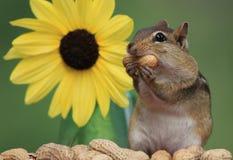 Streifenhörnchen, das Erdnüsse nahe bei Sonnenblume isst Stockfotografie