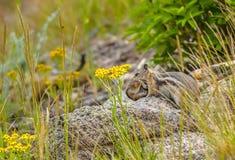 Streifenhörnchen, das ihr Baby trägt Stockbild