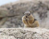 Streifenhörnchen, das Nüsse isst Stockfoto