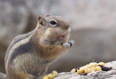 Streifenhörnchen, das Nüsse isst Lizenzfreie Stockfotos