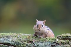 Streifenhörnchen, das nach Lebensmittel sucht Lizenzfreie Stockfotografie