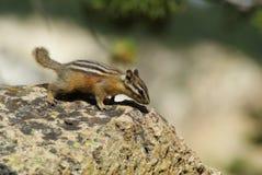 Streifenhörnchen, das nach Schrotten sucht Lizenzfreies Stockbild