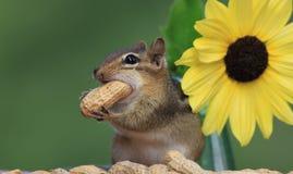 Streifenhörnchen, das nahe bei der Sonnenblume anfüllt eine Erdnuss in seiner Backe steht Stockbilder
