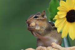 Streifenhörnchen, das nahe bei der Sonnenblume isst eine Erdnuss steht Stockfoto