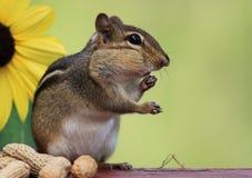 Streifenhörnchen, das nahe bei Sonnenblume steht Lizenzfreie Stockbilder