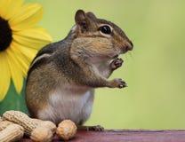 Streifenhörnchen, das nahe bei Sonnenblume steht Stockfoto