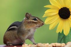 Streifenhörnchen, das nahe bei Sonnenblume steht Lizenzfreies Stockfoto