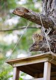 Streifenhörnchen, das neben Zufuhr sitzt Lizenzfreies Stockfoto