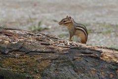 Streifenhörnchen, das recht aufwirft Lizenzfreie Stockbilder