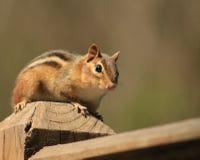 Streifenhörnchen, das recht aufwirft Lizenzfreies Stockfoto