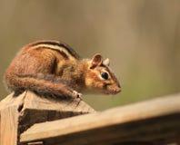Streifenhörnchen, das recht aufwirft Stockfoto