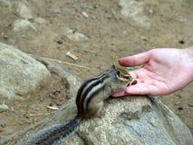 Streifenhörnchen, das vom human& x27 isst; s-Hand Stockbilder