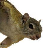 Streifenhörnchen, das von einem Baum hängt lizenzfreie stockfotos