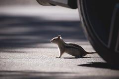 Streifenhörnchen durch das Rad auf der Straße lizenzfreie stockfotos