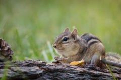 Streifenhörnchen füllt Backen in einer Waldlandfallsaisonszene an Lizenzfreies Stockfoto