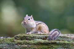 Streifenhörnchen findet Lebensmittel Stockfotos