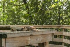 Streifenhörnchen heraus ausgedehnt auf Schiene Stockfoto