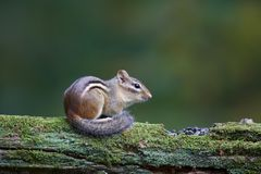 Streifenhörnchen im Fall Stockfotografie