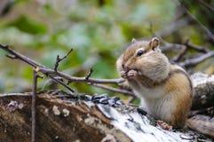 Streifenhörnchen isst Sonnenblumensamen Stockfotografie