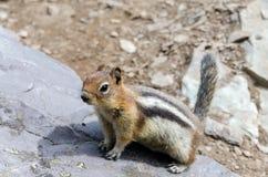 Streifenhörnchen in Kanada Lizenzfreies Stockfoto