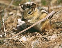 Streifenhörnchen mit Blatt-Hut stockfoto