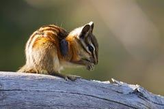 Streifenhörnchen mit Fremdkörper Lizenzfreies Stockbild