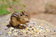 Streifenhörnchen mit Samen Stockfoto