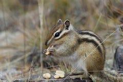 Streifenhörnchen nagt Nüsse ab Lizenzfreies Stockfoto