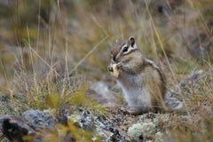 Streifenhörnchen nagt Nüsse ab Stockfoto