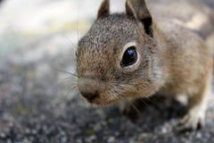 Streifenhörnchen-Nahaufnahme Lizenzfreie Stockbilder