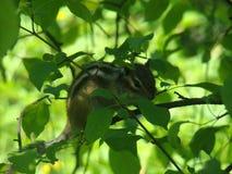 Streifenhörnchen ` s Leben stockbilder