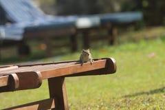 Streifenhörnchen sitzt auf sunbed Stockfotos