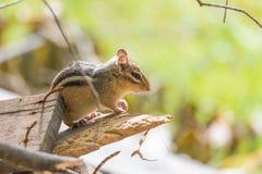 Streifenhörnchen Tamias auf einem hölzernen Stapel in der Sonne Stockbild