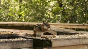 Streifenhörnchen und Nüsse Stockfotografie