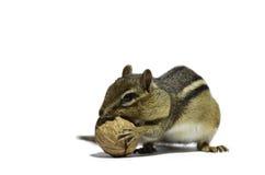 Streifenhörnchen und Walnuss Stockfotos