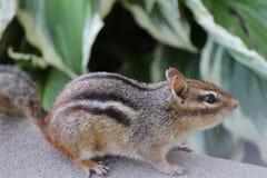 Streifenhörnchen, weiblich stockfoto