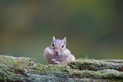 Streifenhörnchenessen Lizenzfreie Stockfotos