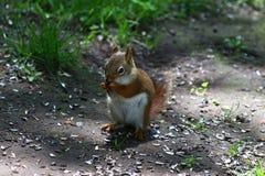Streifenhörnchenessen stockbild