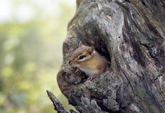Streifenhörnchenflüchtige blicke von einem Baumloch Stockfotos
