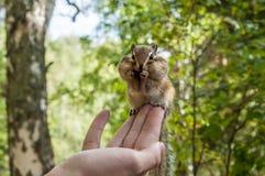 Streifenhörnchenhandsamenfütterung Stockbilder