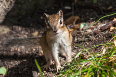 Streifenhörnchenporträt nett Stockfoto