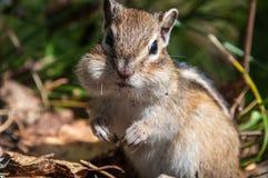Streifenhörnchenporträt nett Stockfotografie