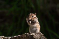 Streifenhörnchenporträtstein Lizenzfreies Stockfoto